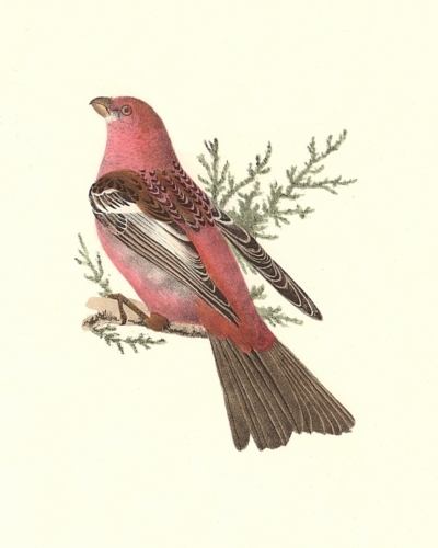 The Pine Bulfinch