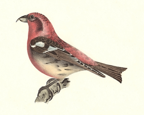 The White-winged Crossbill