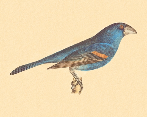 The Blue Grosbeak