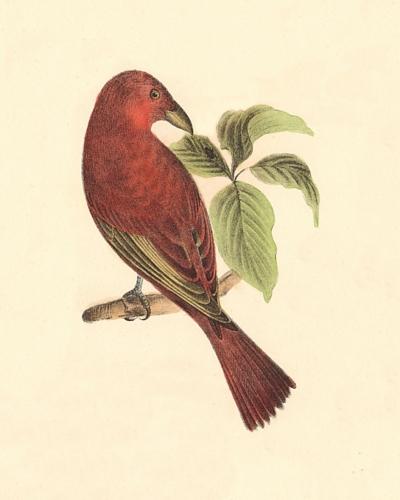 The Redbird