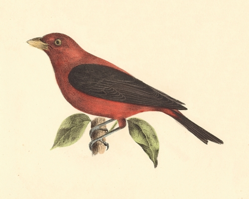 The Black-winged Redbird
