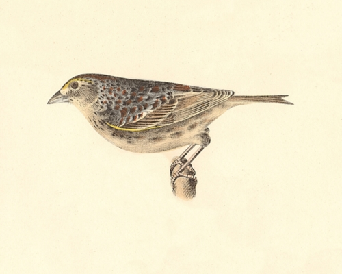 The Yellow-winged Bunting