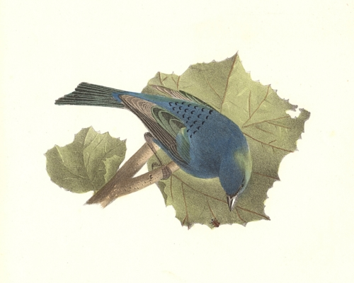 The Indigo-bird