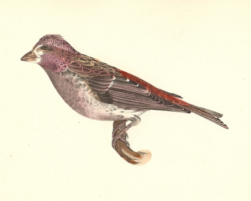 The Crested Purple Finch
