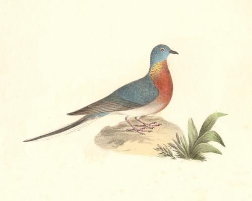 The Wild Pigeon (Passenger Pigeon)