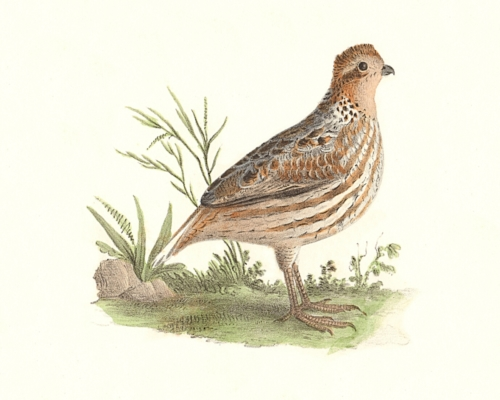 The American Quail, female