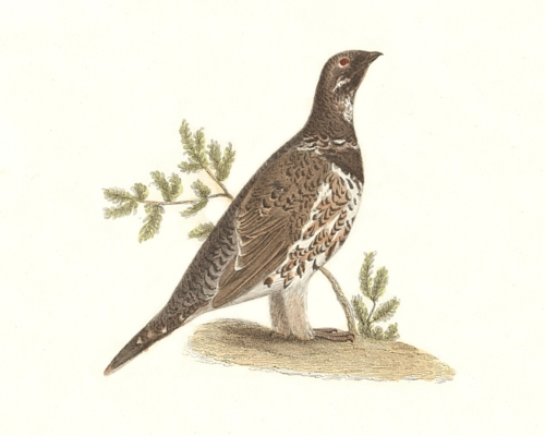 The Spruce Grouse