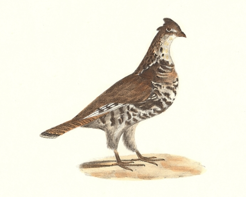 The Common Partridge