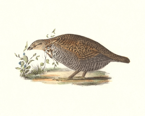 The Pinnated Grouse