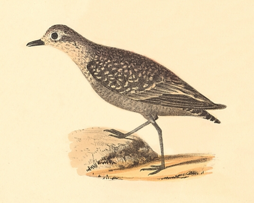 The Golden Plover