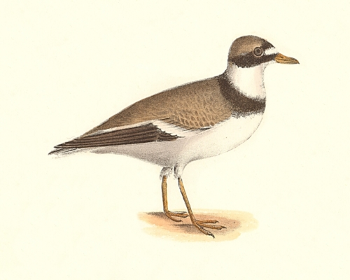 The American Ring Plover
