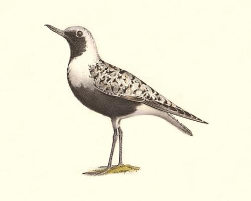 Figure-180-Whistling-Plover