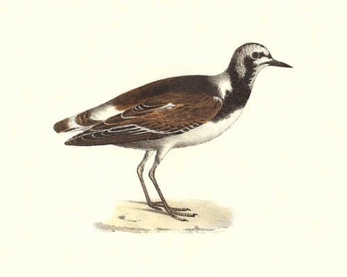 The Turnstone
