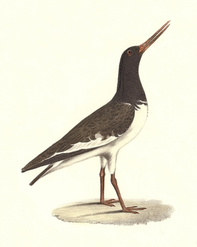 The Mantled Oyster-catcher