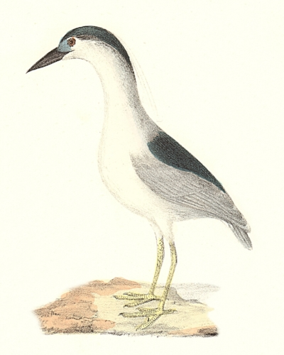 The Black-crowned Heron
