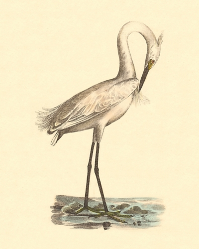 The White-crested Heron