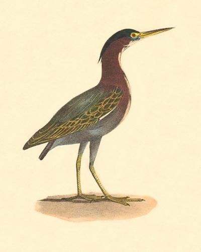 The Green Heron, or Poke