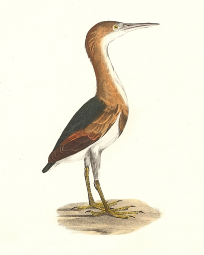 The Small Bittern