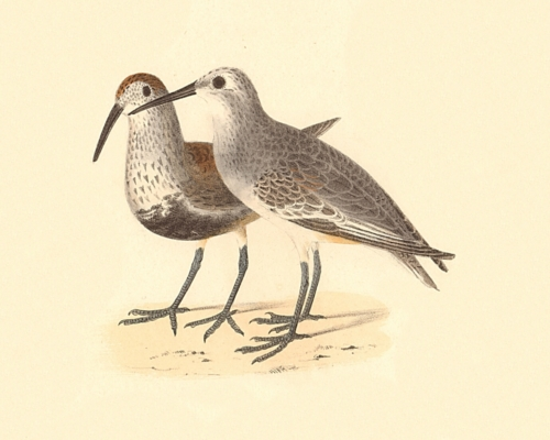The Black-breasted Sandpiper