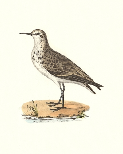 The Semipalmated Sandpiper