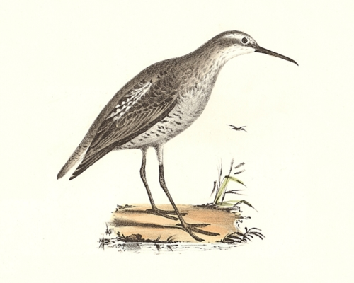 The Long-legged Sandpiper