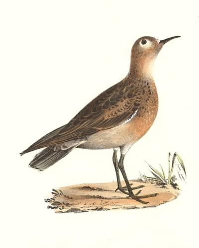 The Buff-breasted Sandpiper