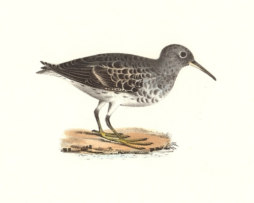 The Purple Sandpiper