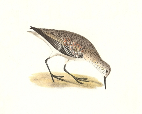 The Sanderling