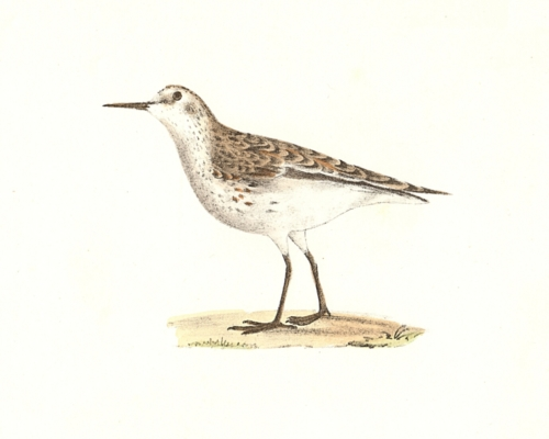 Wilson's Sandpiper, winter plumage