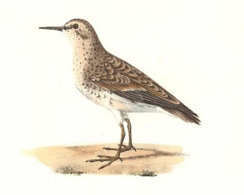 Wilson's Sandpiper, summer plumage
