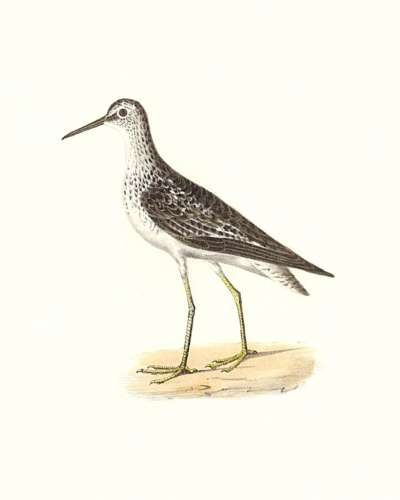 The Yellowlegs