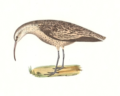 The Small Esquimaux Curlew