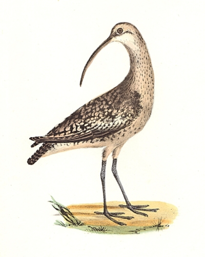 The Jack Curlew