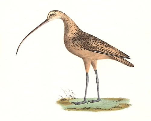 The Long-billed Curlew