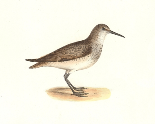 The Red-breasted Sandpiper
