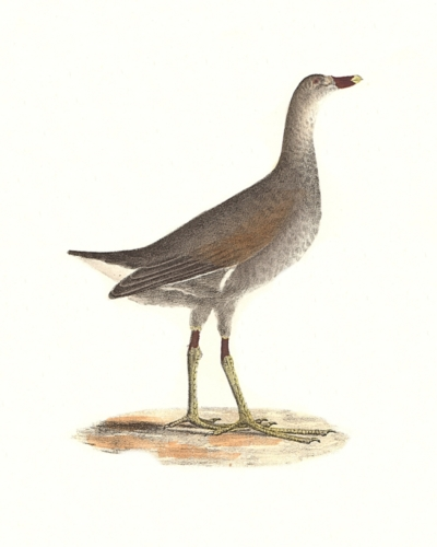 The Florida Gallinule