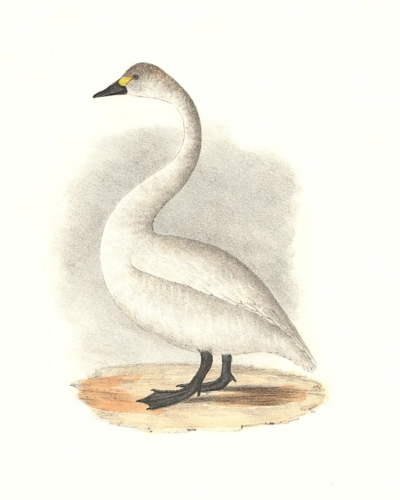The American Swan