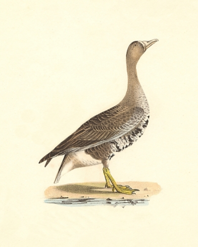 The White-fronted Goose