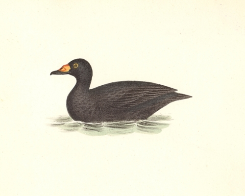 The Broad-billed Coot