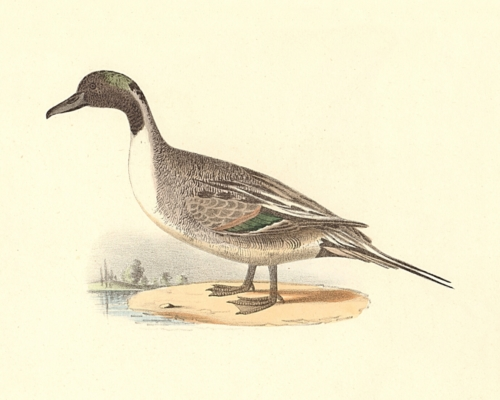 The Pintail Duck