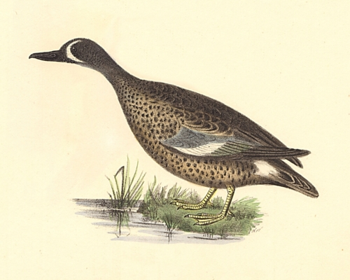 The Blue-winged Teal