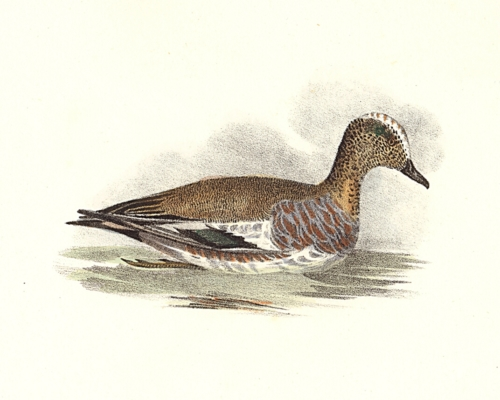 The Baldpate, or Widgeon