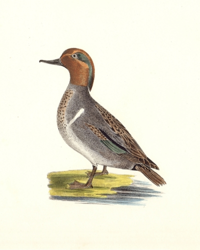 The Green-winged Teal
