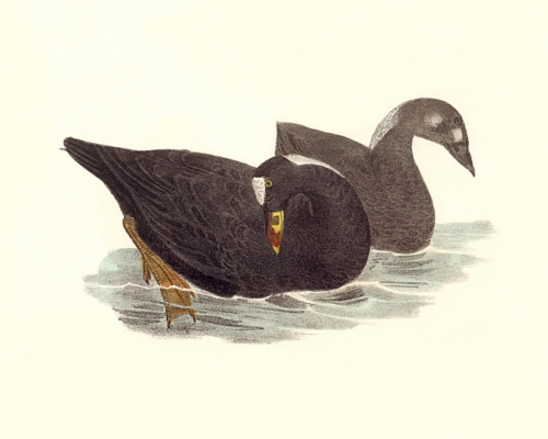 The Surf Duck, or Coot (adult and immature)