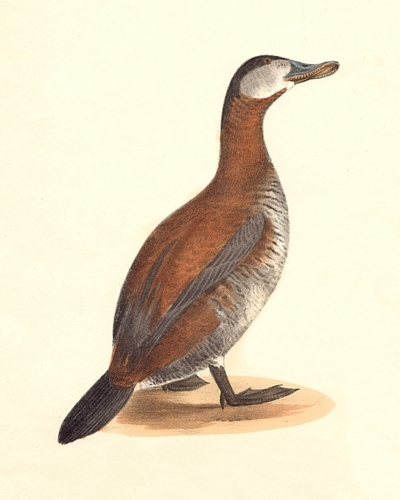 The Ruddy Duck