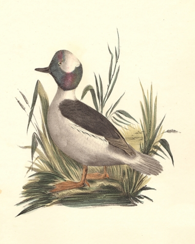 The Buffle-headed Duck