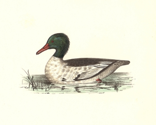 The Buff-breasted Sheldrake