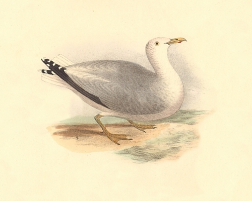 The Winter Gull