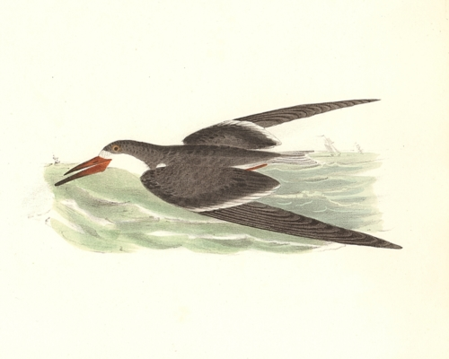 The Black Skimmer