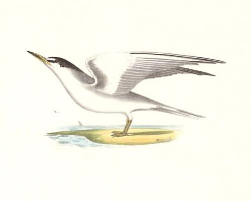 The Silvery Tern